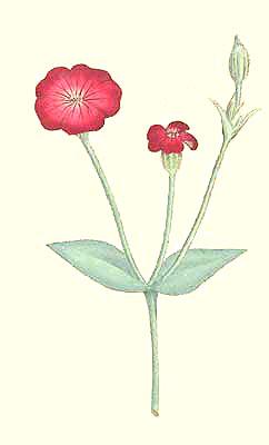 Agrostemma Coronaria