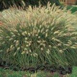 perennial fountain grass